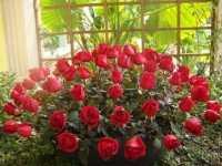 玫瑰花的美容功效 美容美颜、缓解抑郁等多种功效